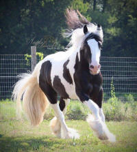 RGR Louis Vuittin, 2014 Gypsy Vanner Horse colt