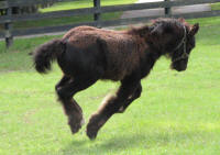 GG Lucy In The Sky With Diamonds, 2015 Gypsy Vanner Horse filly