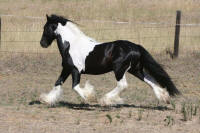 CGR Latcho's Lucky Tango, 2006 Gypsy Vanner Horse stallion