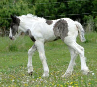 Feathered Gold Luminosity, 2016 Gypsy Vanner Horse filly