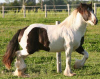 Muckey Maddox, 2006 imported Gypsy Vanner Horse colt