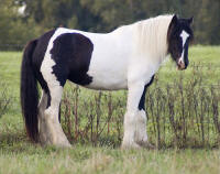 Freeland's Madison, 2006 Gypsy Vanner Horse mare