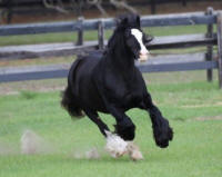BB's Midnite Dream, 2008 Gypsy Vanner Horse mare