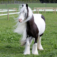 Magical Lottery, 2009 Gypsy Vanner Horse mare