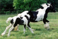 Minnie & Traveller, Gypsy Vanner Horse mare and colt
