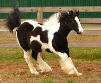 Masatche, 2009 Gypsy Vanner Horse filly
