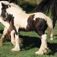 Maui Chasin Rainbows, 2018 Gypsy Vanner Horse colt