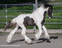 Starfire Maui, 2016 Gypsy Vanner Horse colt
