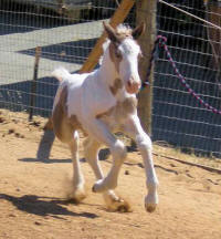 FHF The Gambler, Gypsy Vanner Horse colt
