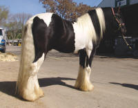 Maximus, 2004 Gypsy Vanner Horse stallion