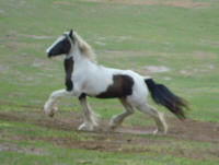 Mayflower, 2006 Gypsy Vanner Horse mare