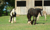 GG Velvet Doll, 2006 Gypsy Vanner Horse filly