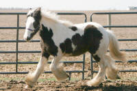 Gypsy Melody, 2007 Gypsy Vanner Horse filly