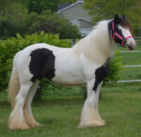 N'Co Mr. Bikers Memorial Daze, 2013 Gypsy Vanner Horse mare