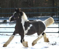 N'Co I'm One In A Million, 2007 Gypsy Vanner Horse filly