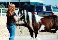 Minnie, imported Gypsy Vanner Horse mare at Equifair 2003