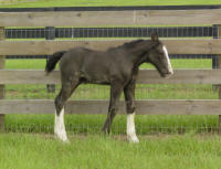 2011 filly Inver Hills Miss Clare, Gypsy Vanner Horse