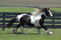 IHF Miss Emerald, 2011 Gypsy Vanner Horse filly