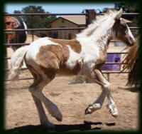 Miss Knickers, 2008 gypsy Vanner Horse filly
