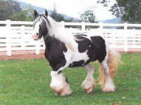 Missy, imported Gypsy Vanner Horse mare