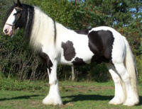 Moe, 2003 imported Gypsy Vanner Horse stallion