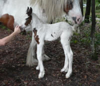 Caravanners Crystaleyzd, 2012 Gypsy Vanner Horse filly