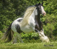 GG Caymus Miss Molly, 2008 Gypsy Vanner Horse mare