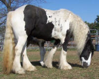 Good Golly Miss Molly, Gypsy Vanner Horse filly