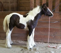 N'Co Da Vinci's Mona Lisa, 2016 Gypsy Vanner Horse filly