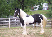 Mrs. Montivea, 2000 imported Gypsy Vanner Horse mare