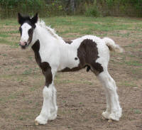 Moon Racker Red Bridge Ranch, 2012 Gypsy Vanner Horse colt