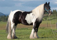 Moony, 1997 imported Gypsy Vanner Horse gelding