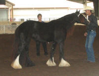 GG Mora Lisa, 2011 Gypsy Vanner Horse filly