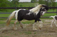 Lady Mulan, imported Gypsy Vanner Horse mare