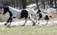 Feathered Gold Mylanna, 2011 Gypsy Vanner Horse filly