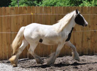 N'Co Dial Nine One One, 2010 Gypsy Vanner Horse filly