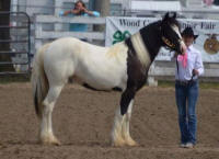 N'Co Roulette's Easter Lily, 2013 Gypsy Vanner Horse filly