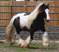 N'Co March Madness, 2012 Gypsy Vanner Horse mare