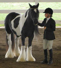 Novel of Feathered Gold, 2004 imported Gypsy Vanner Horse mare