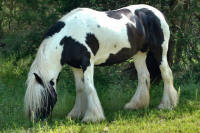 Princess Nala, 2000 imported Gypsy Vanner Horse mare
