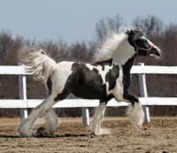 Lake Ridge Natasha, 2008 Gypsy Vanner Horse filly