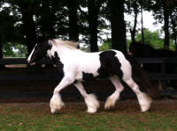 N'Co The Navigator, 2009 Gypsy Vanner Horse gelding