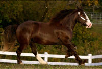 N'Co Mr. Bikers Nighster, 2008 Gypsy Vanner Horse gelding