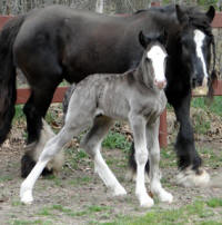 Feathered Gold Night Force, 2016 Gypsy Vanner Horse colt