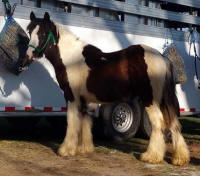 Feathered Gold Nitro, 2015 Gypsy Vanner Horse colt