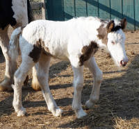 Noodles, 2017 Gypsy Vanner Horse filly