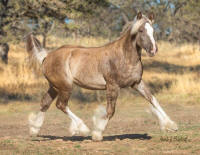 HGR Champagne Supernova of Blackwood,  2016 Gypsy Vanner Horse filly