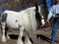 Nuala, imported Gypsy Vanner Horse mare