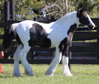 SGV Trilly's Olivia Grace, 2014 Gypsy Vanner Horse filly