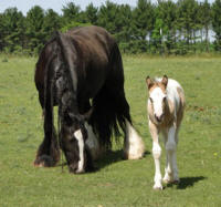 Feathered Gold Orianna, 2012 Gypsy Vanner Horse filly